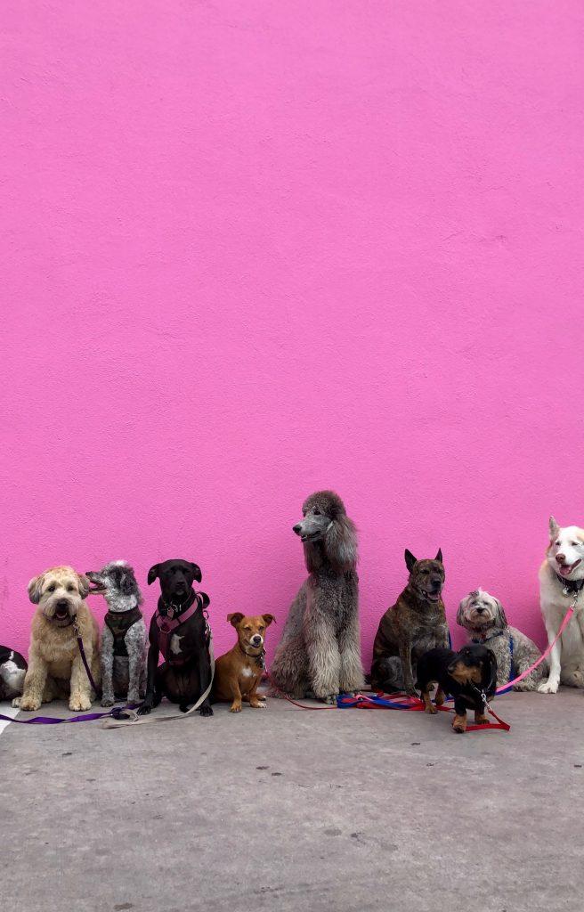 groep honden voor een roze muur