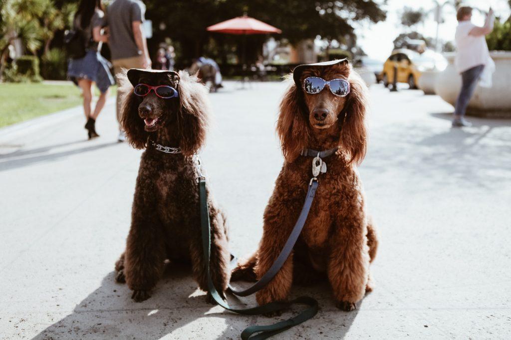 twee poedels met zonnenbril