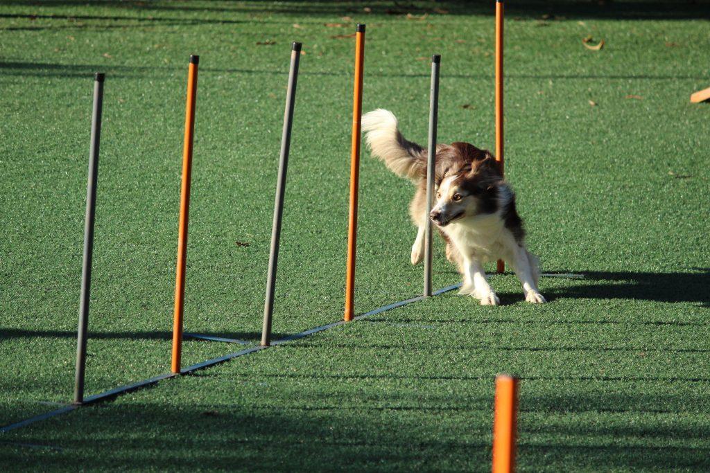 Een hondje die agility oefening met de paaltjes of 'wave' doet